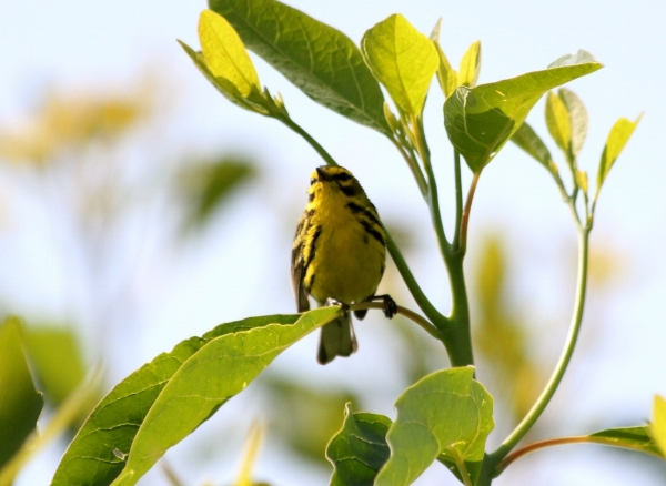 A Prairie warbler surveys his breeding territory. Pennsylvania, summer.  Photo credit: Steve Brenner