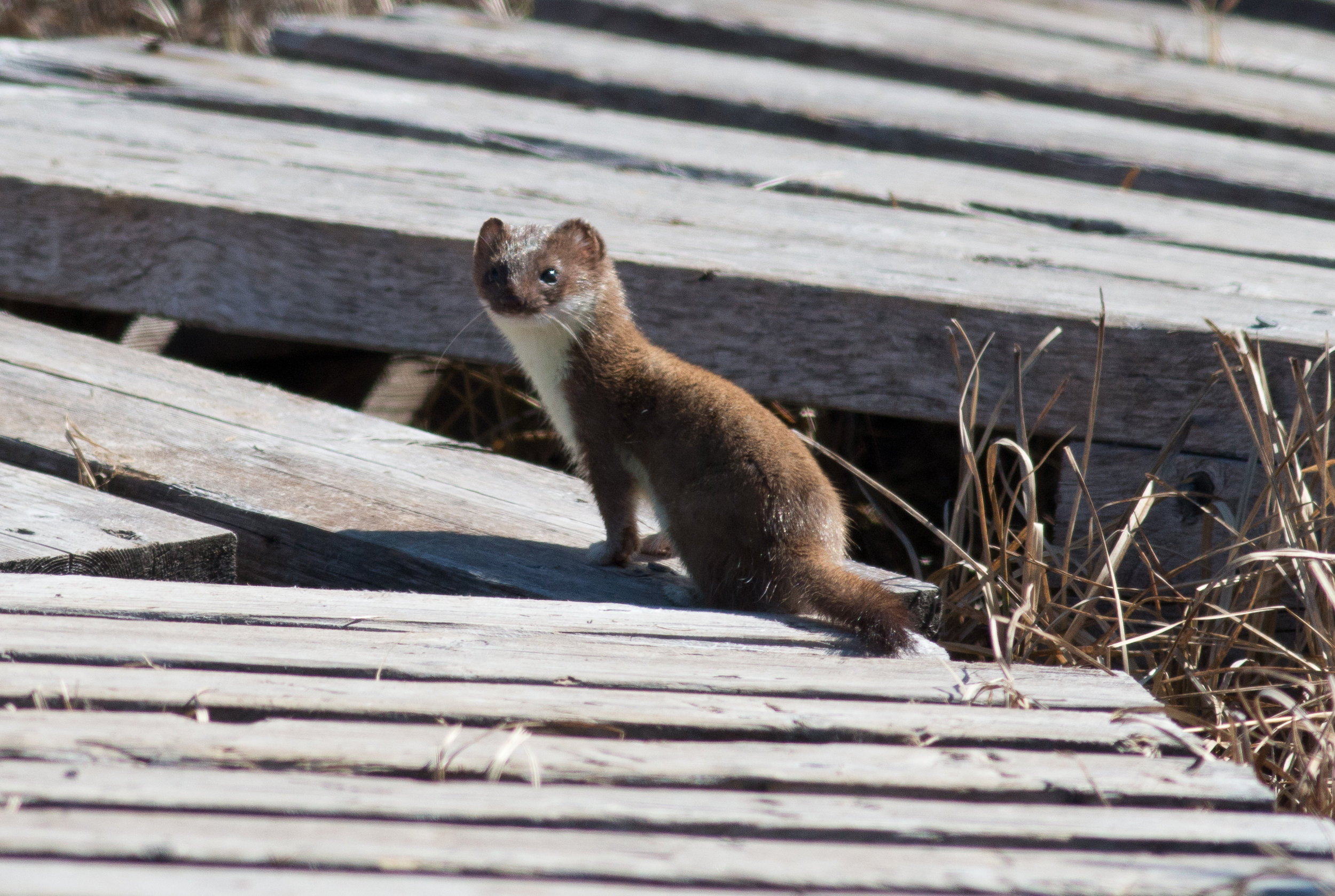 Short-tailed weasel, an extremely effective nest predator. Manitoba, 2018.  Photo: Steve Brenner