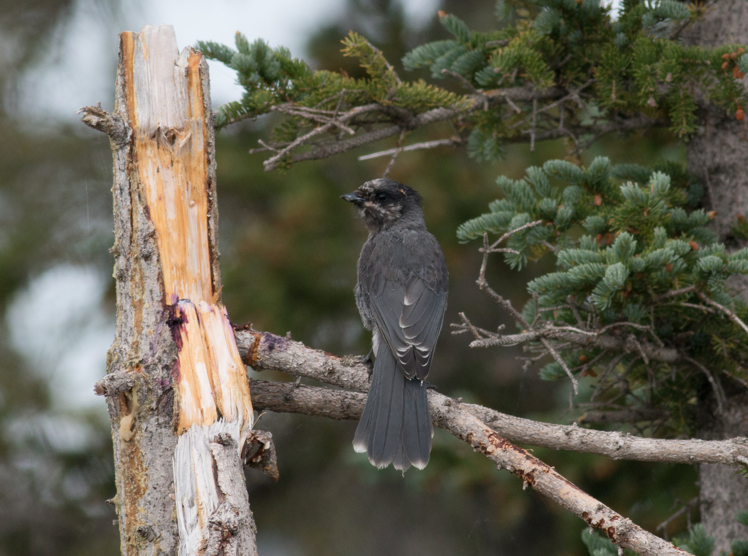Canada Jay. Hanging out safely in the trees, far from the Savannah Sparrows in tidal areas.