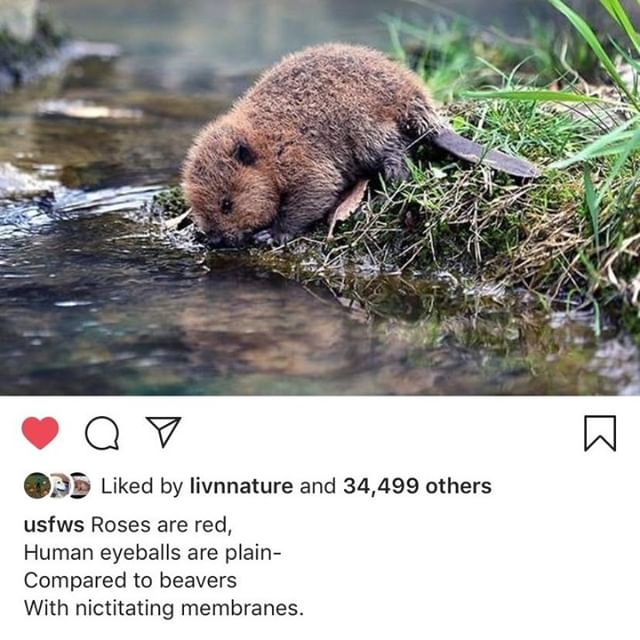 Thank you @usfws for creating the perfect Valentine's Day poem.  #repost #nictatingmembranes #beavers #valentinesday #animalslivingwithchange #alsonotasnowyowl #scicomm #scientistsarefunnytoo #animalsofinstagram