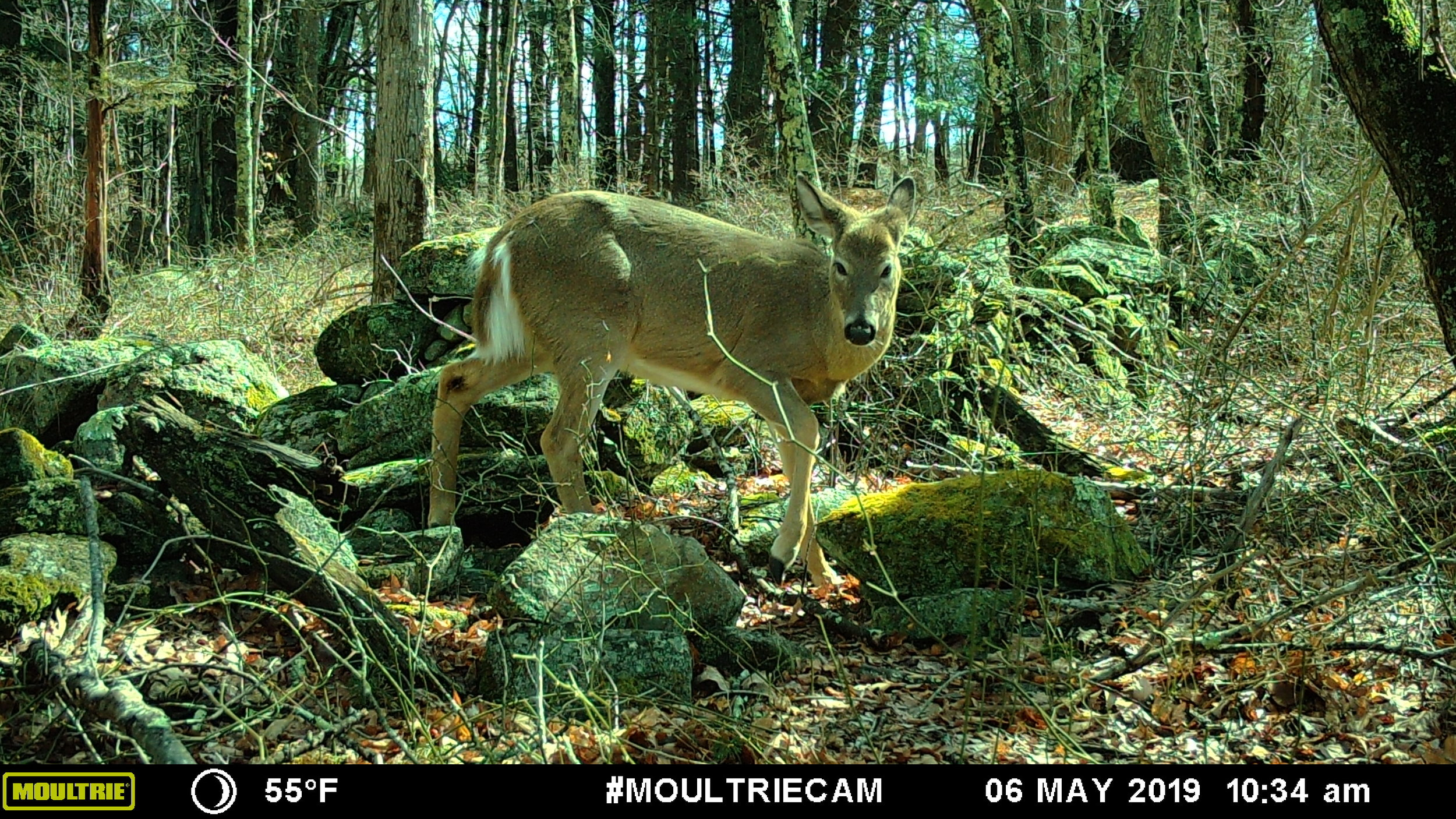 White tailed deer crossing through a gap in a remnant rock wall, North Woods, Kingston, RI