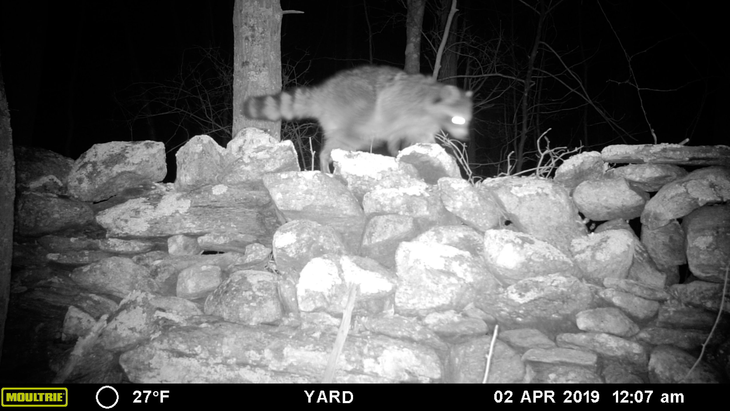 A North American Raccoon travels on top of a remnant rock wall.