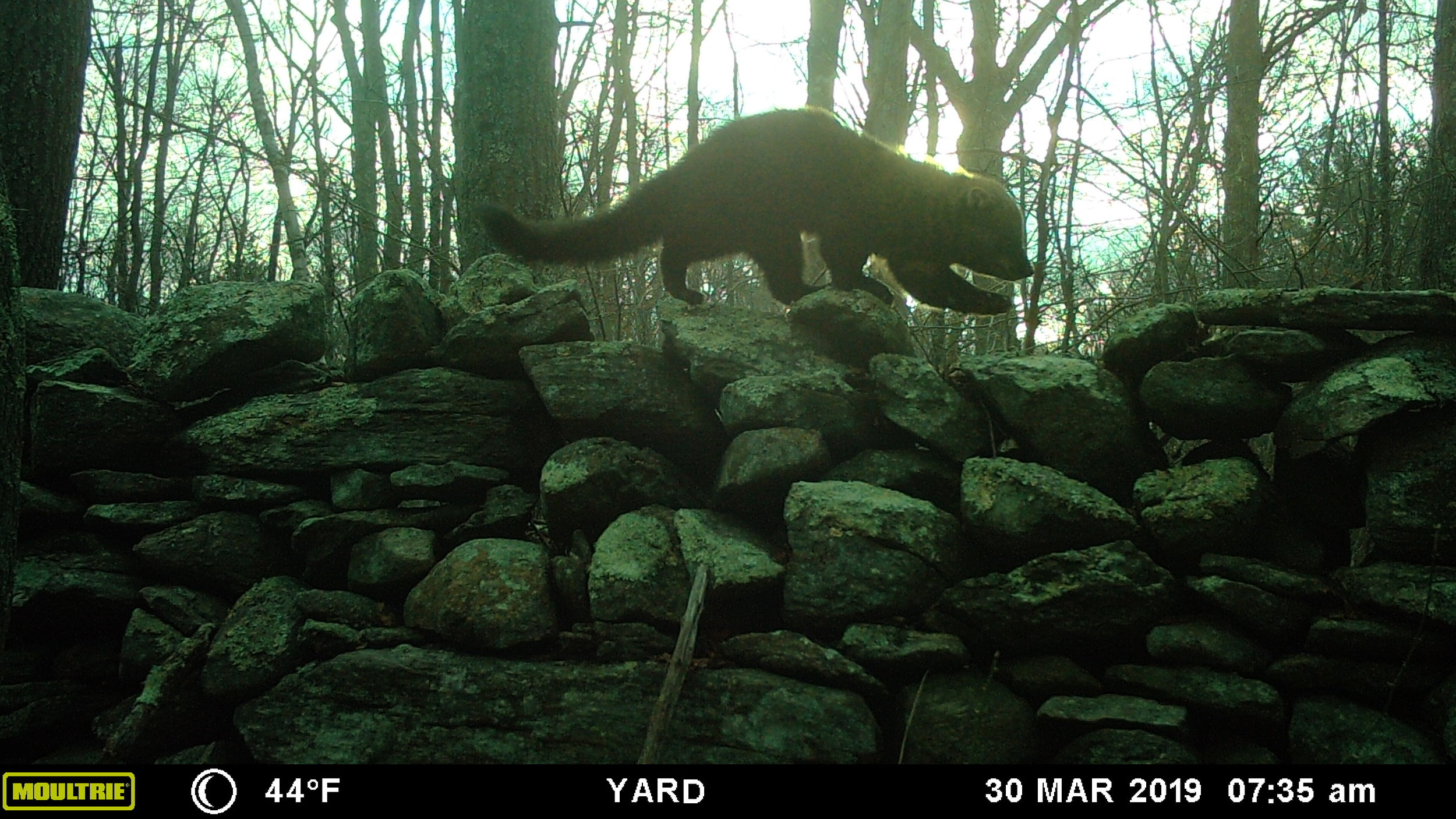 A Fisher travels on top of the remnant rock wall.