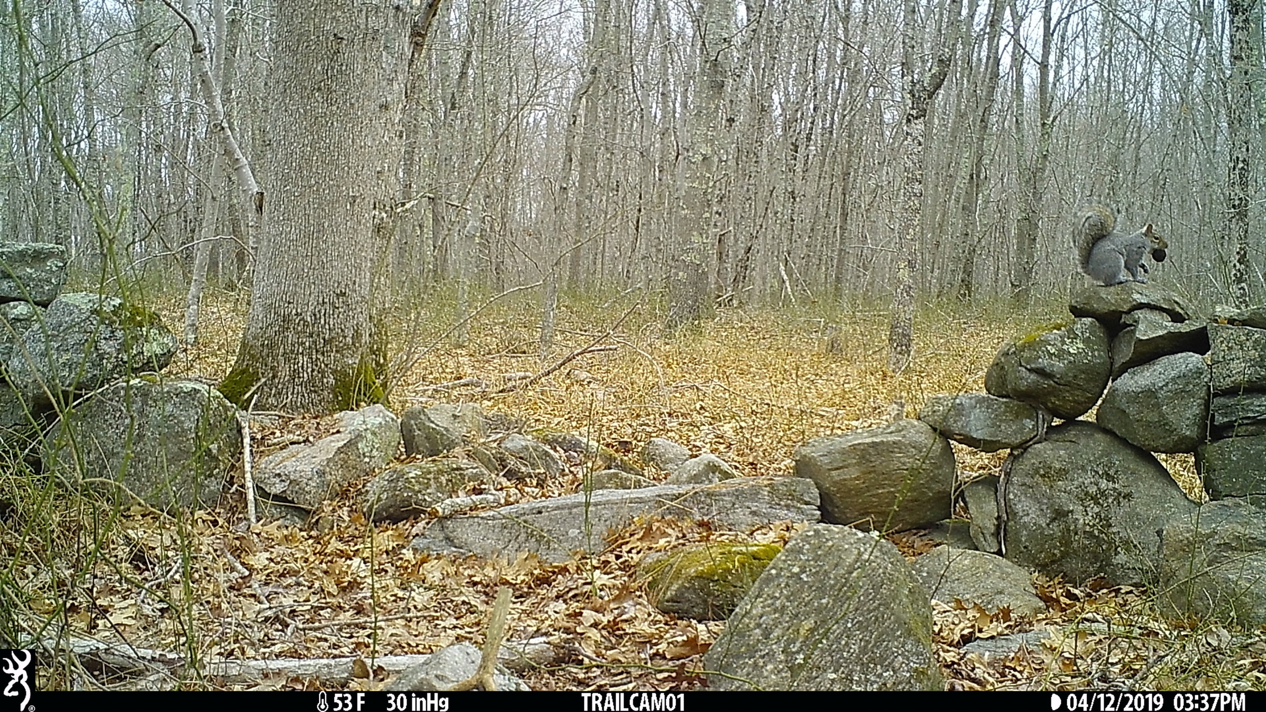 An Eastern Gray Squirrel sits on top of a rock wall eating an acorn.
