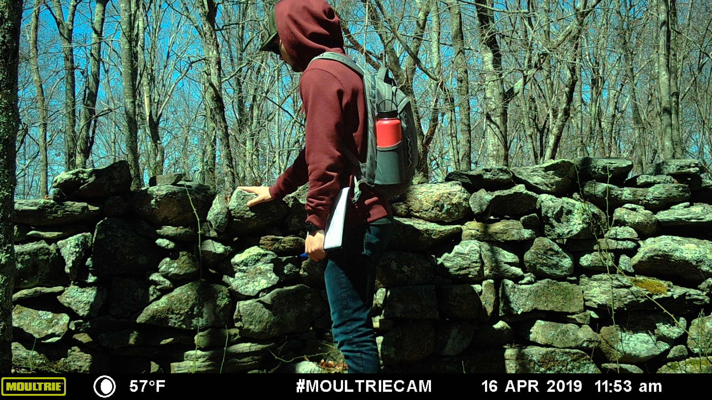 URI student admires the wall - Despite the study area's proximity to the URI campus, many typical New England forest species were detected: