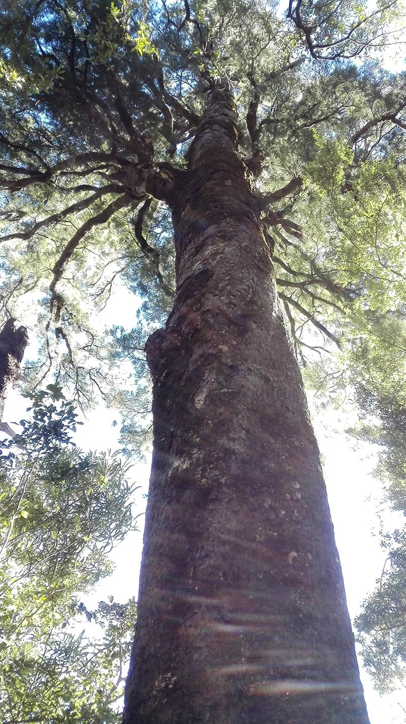 4kahikatea-white-pine-Podocarpus-dacridiodes.jpg
