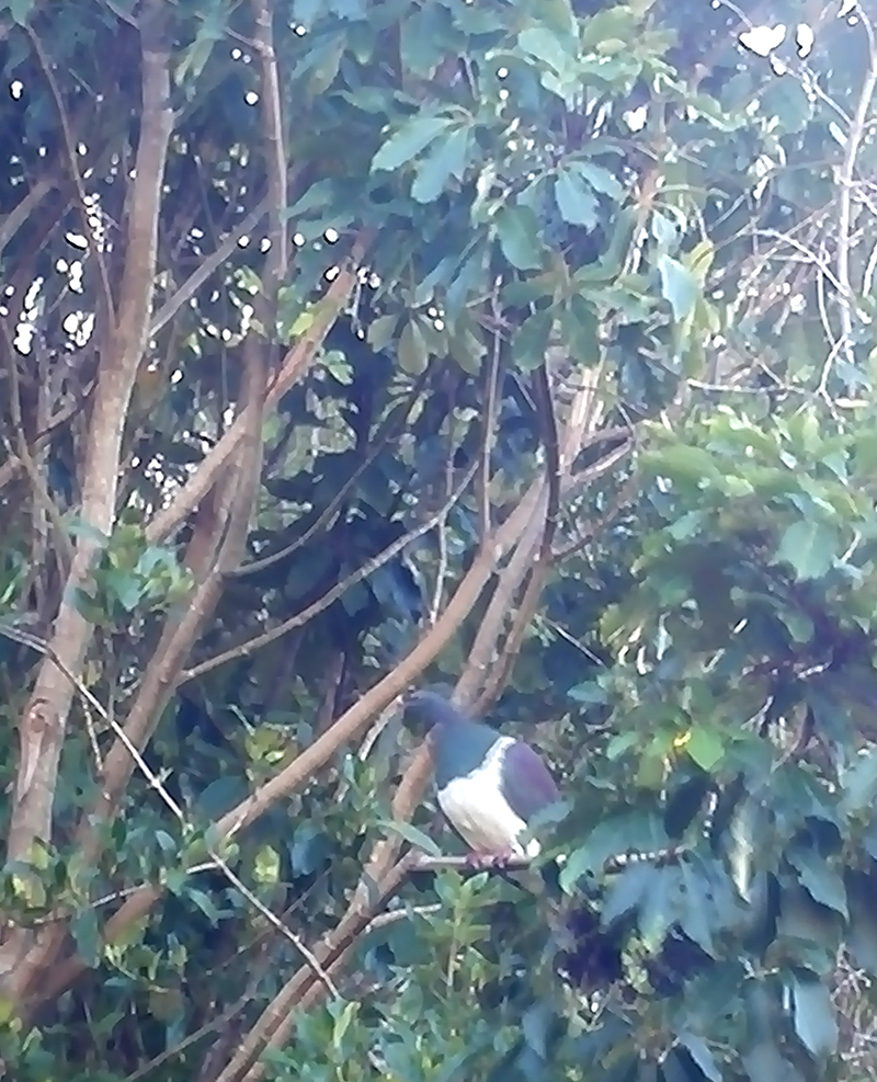 My phone doesn't take great pictures, but there is a lot of native bird life on the island. This is a kereru (wood pigeon)