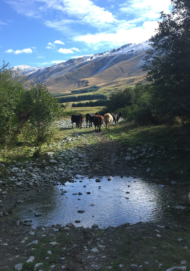 Cattle having just crossed a stream that feeds into the Opuha River