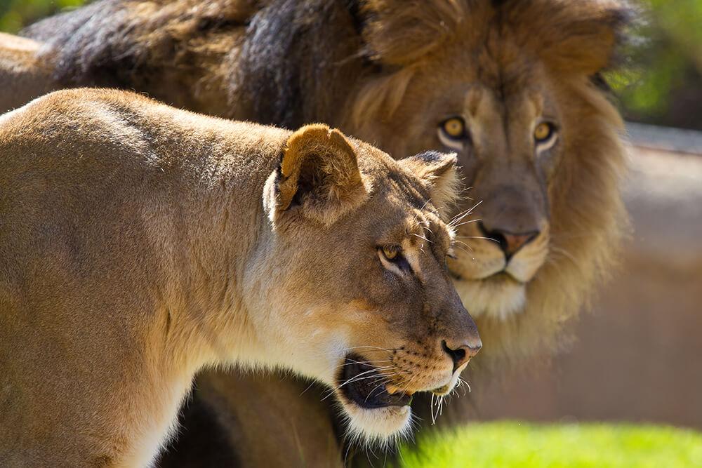 lion_lioness.jpg