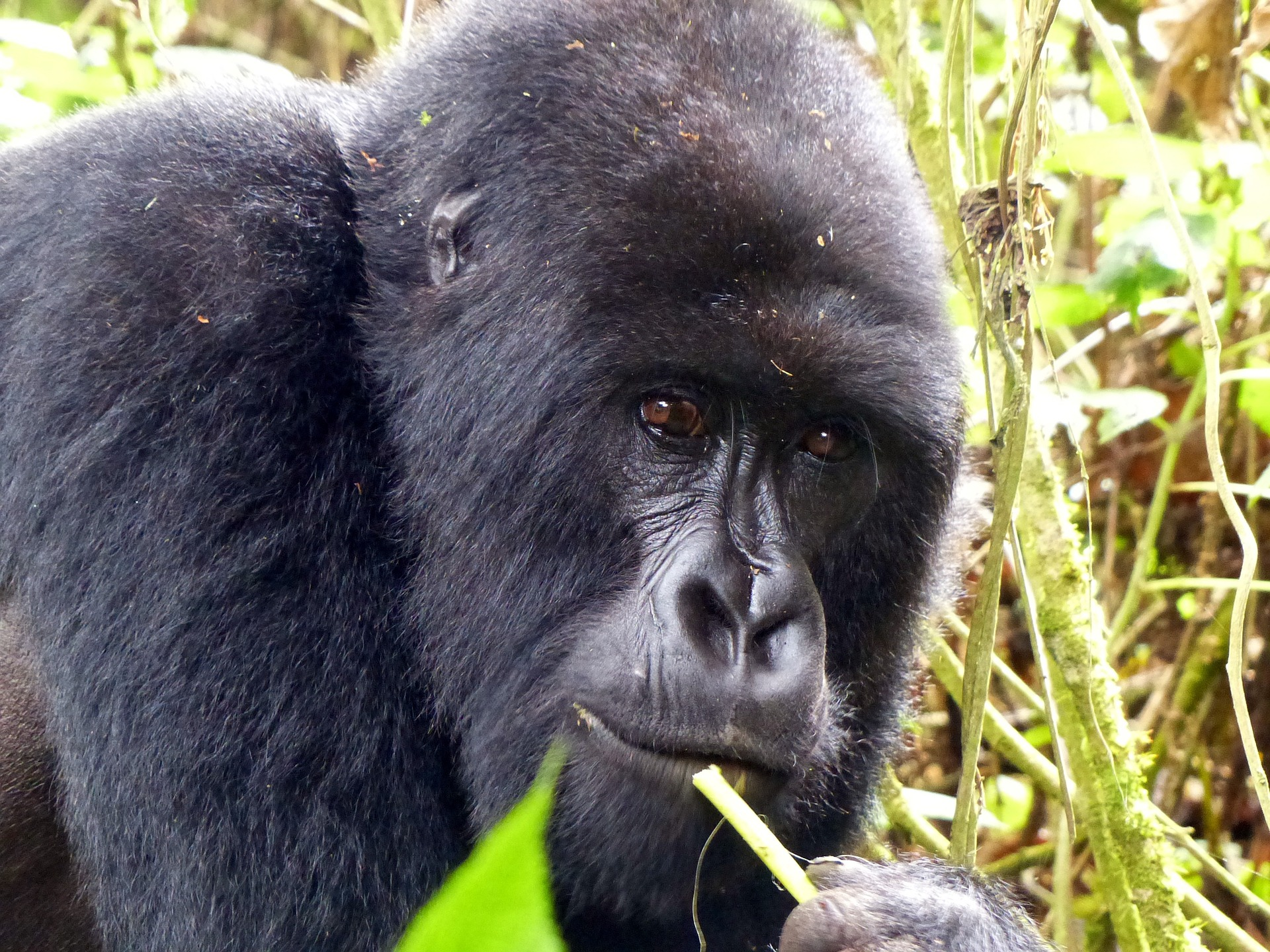 gorilla-818003_1920.jpg