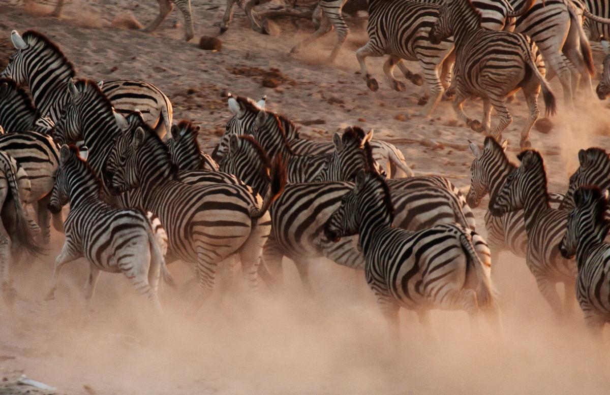 zebras4.jpg