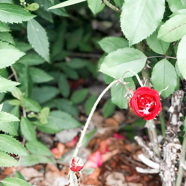 🌹 A rose must remain with the sun and the rain or its lovely promise won't come true. ~Ray Evans ⠀⠀ Just like for us the blessings and the trials are intricately woven together. You can't take away one without taking away the other. #sundaymusings . . . . . . .  #livethelittlethings #thehappynow #lifeisajourney #embracingaslowerlife #seekthepositive #bedeeplyrooted #holdthemoments #inbeautyandchaos #myeverydaymagic #simpledelights #seekthesimplicity #summerdelights #verilymoment #thatauthenthicfeeling #beautyfromashes #christianliving #intentionalmom #trials #faith #sundayfunday #summerlovin #lifeisbeautiful