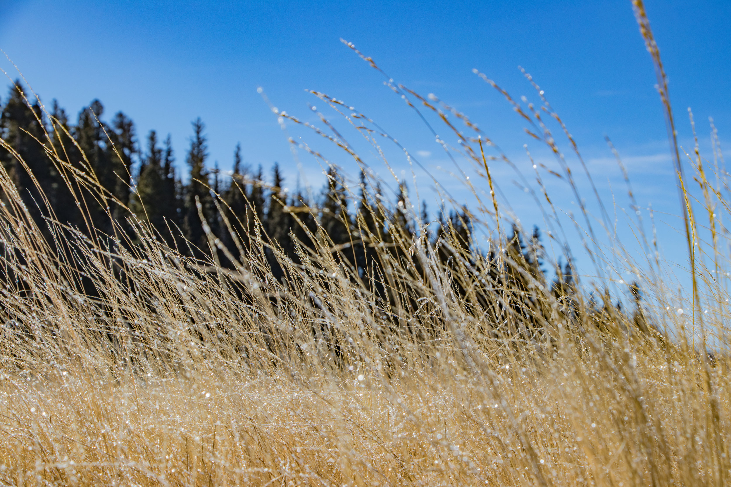 Dew on the grass. Valles Caldera National Park, New Mexico