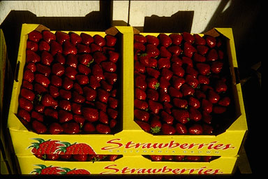 Strawberries ready for shipment