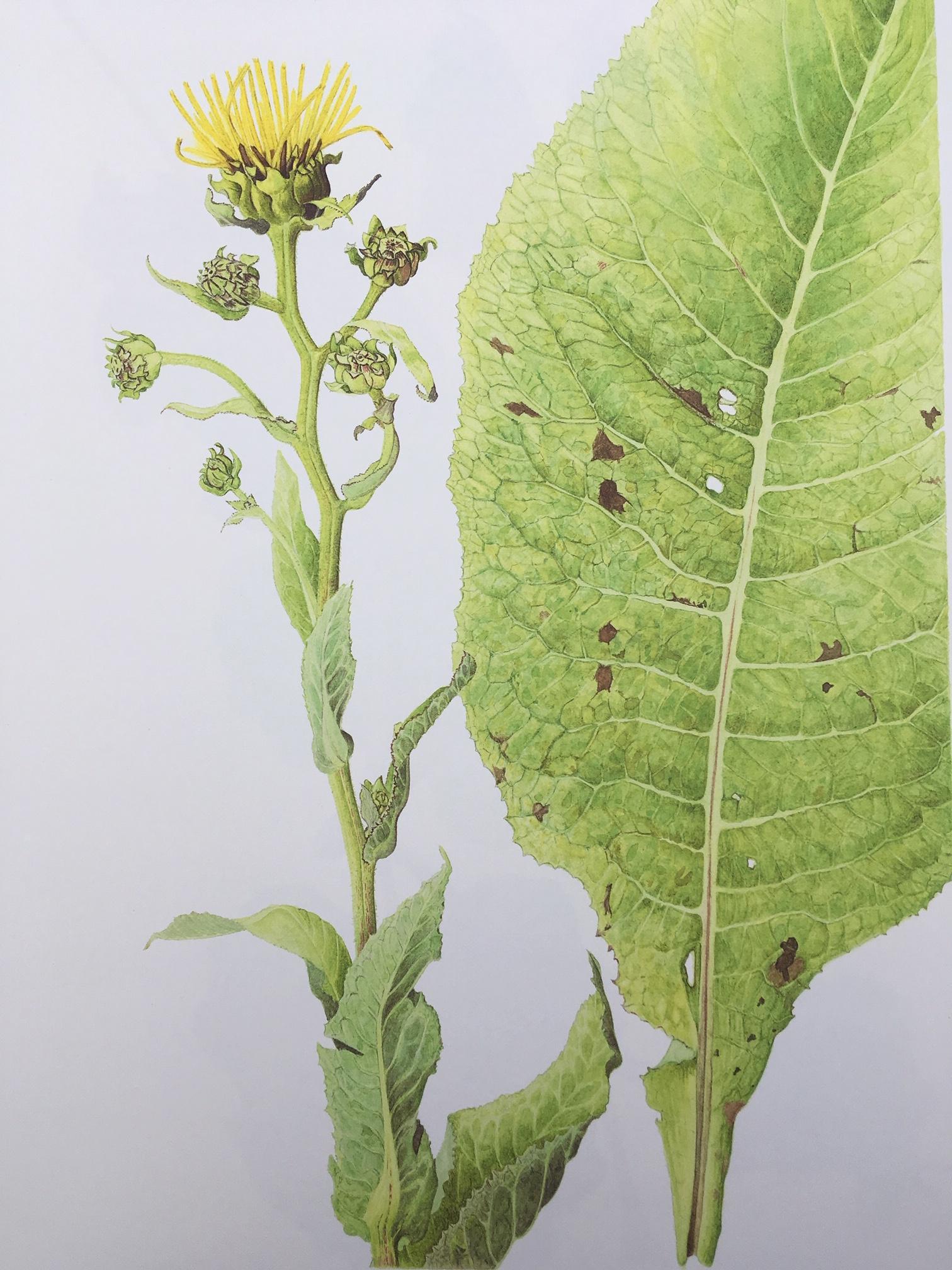 Transylvania Florilegium