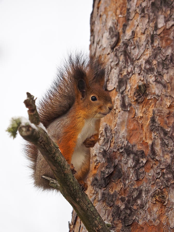 4-eurasian-red-squirrel-jouko-lehto.jpg