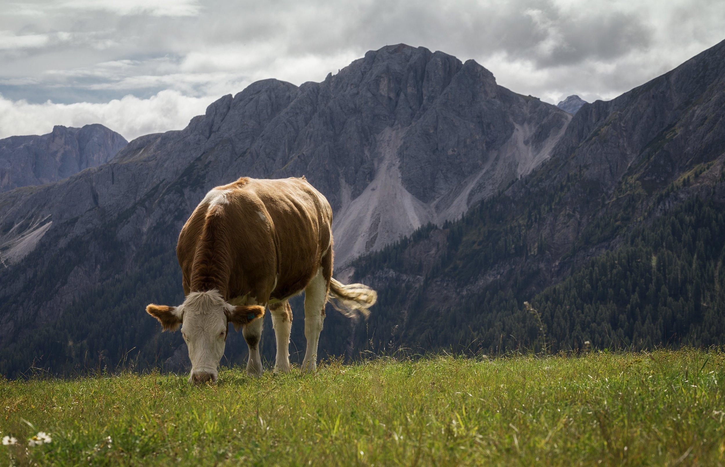 animal-cattle-cool-wallpaper-1390200.jpg