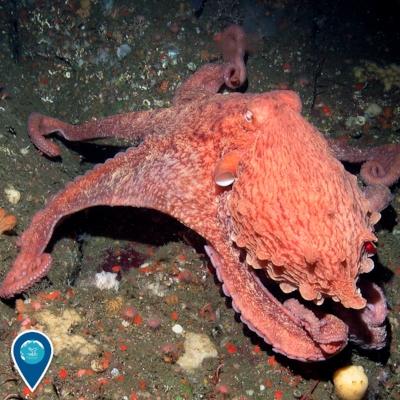 GiantPacificOctopus.jpg