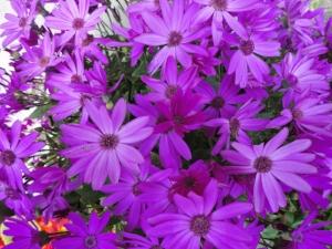 VIOLeT K violet flowers.jpg