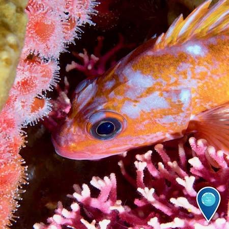 RosyRockfishNOAA-EIB (1).jpg
