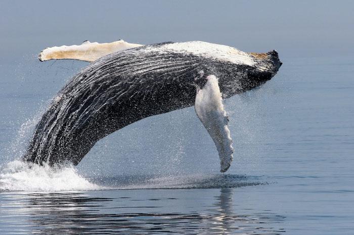 NOAA humpbackBreachNMFS.jpg