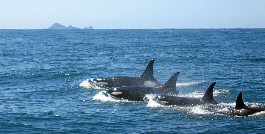 Killer Whales So Residents SEFI-  ©️ Chris Columbana Copyright