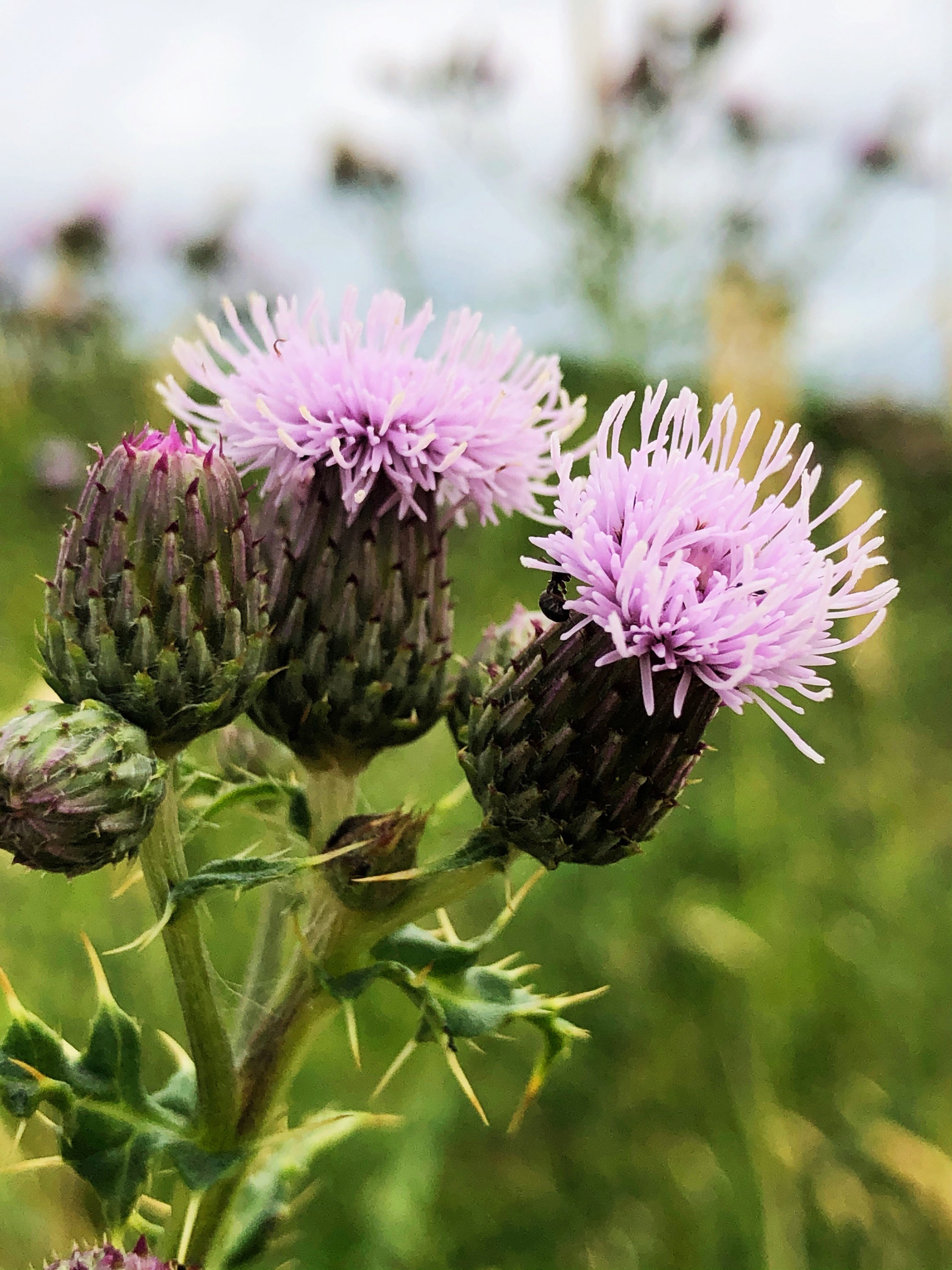 July Thistles