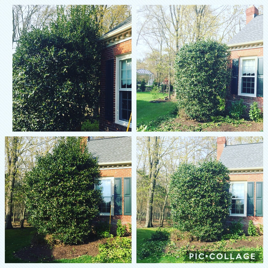 Holly Prune Pin Oak Tree Services
