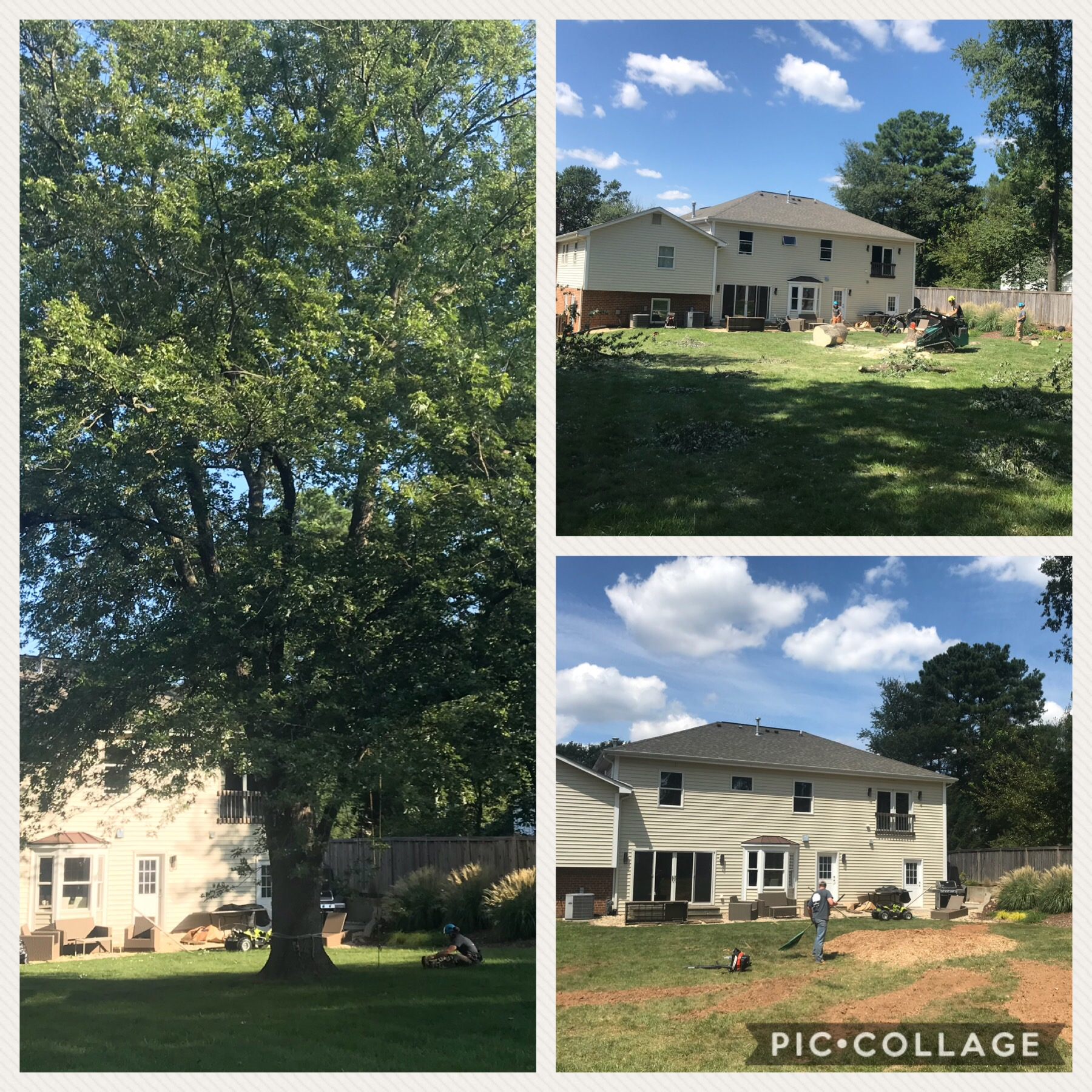 """Large Silver Maple """"Acer saccharinum"""" Removal."""