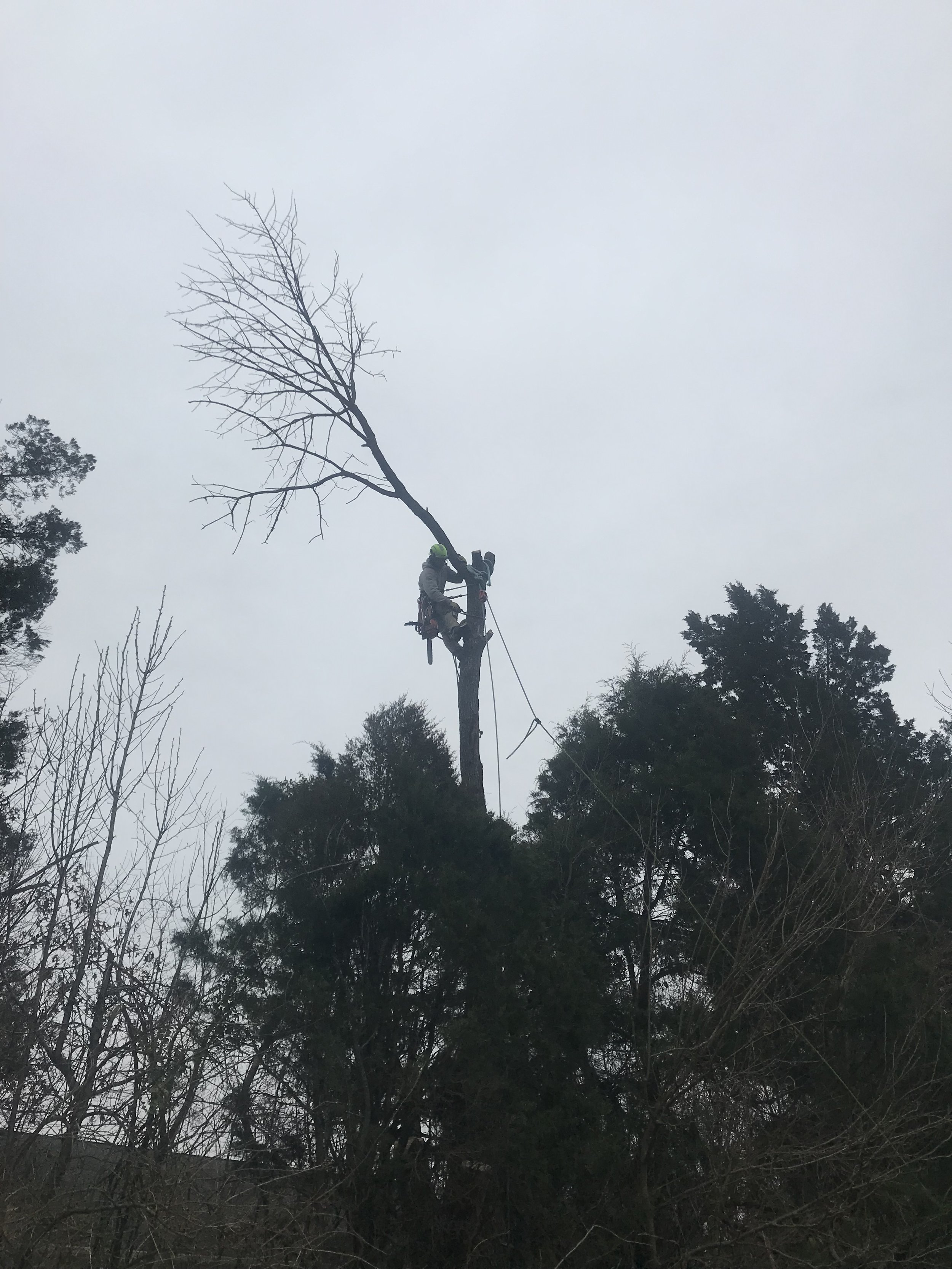 Cut down a large Ash tree in Manassas, VA. The tree was completely dead after being attacked by Emerald Ash Borer. Cut the tree down and removed all debris.