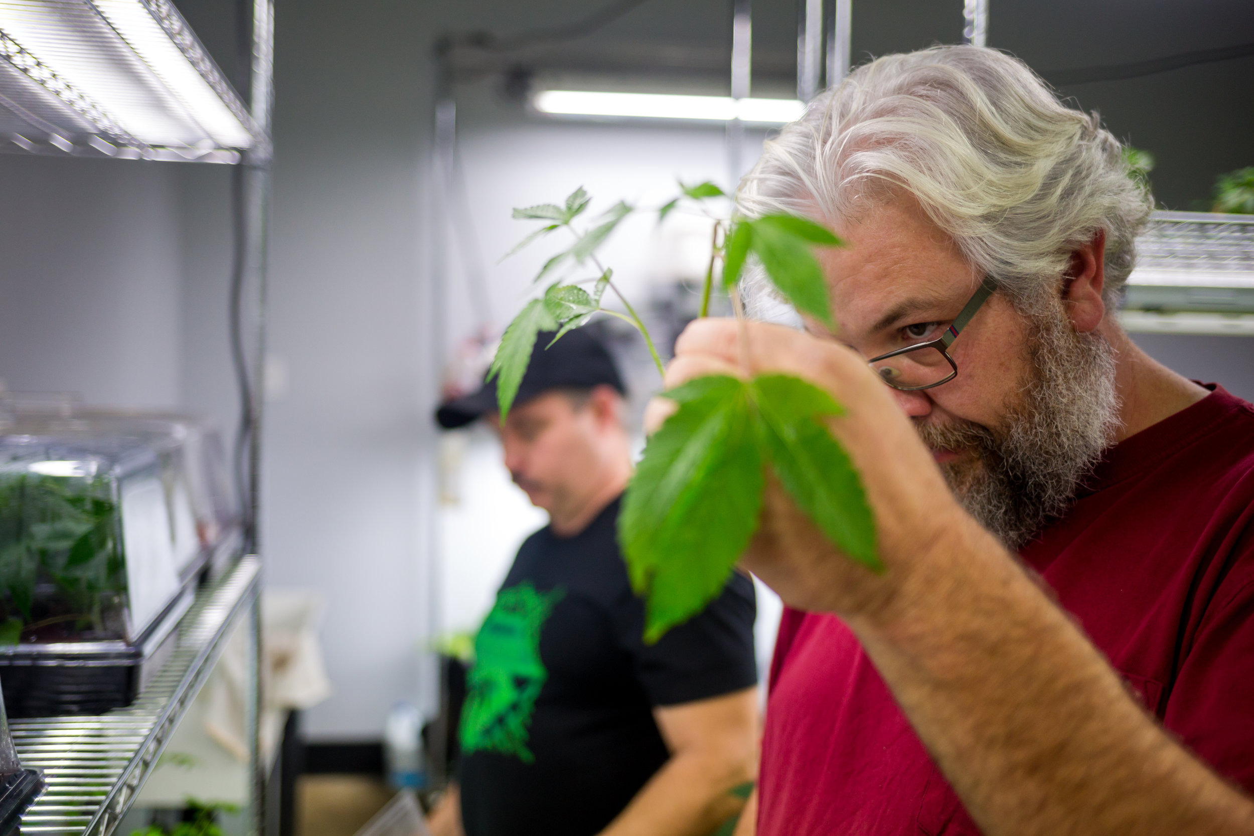 Travis Mackenzie examines the roots of a cannabis clone in one of the 24 growing rooms located in their west-Eugene indoor grow facility.