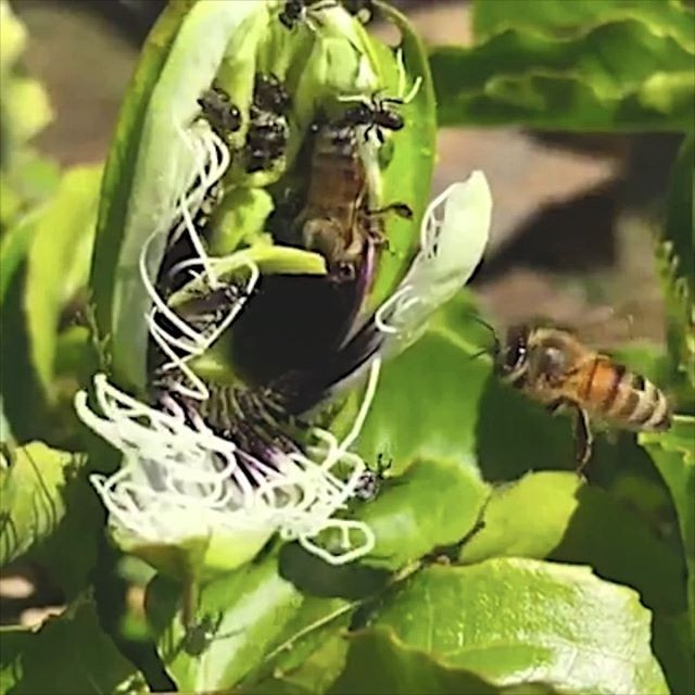 How amazing is this bee video by @sydneynativebees? I love springtime bees, buzzing around. Have you got a lot of bees in your garden right now?