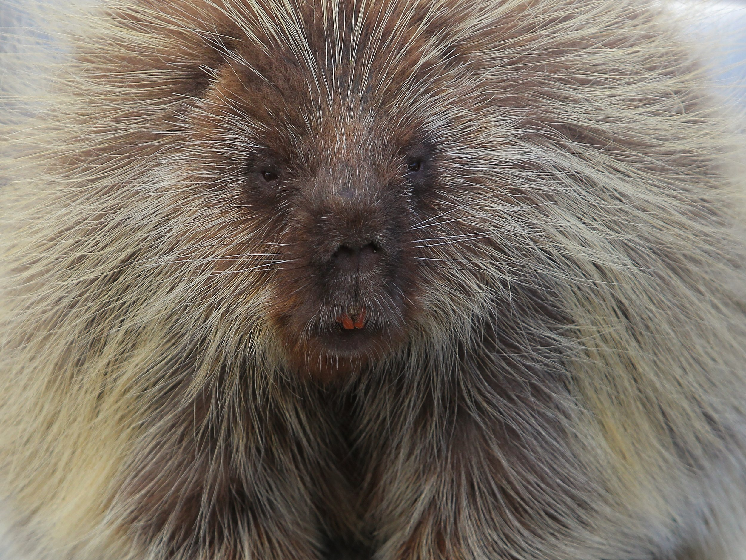 Adult Porcupine