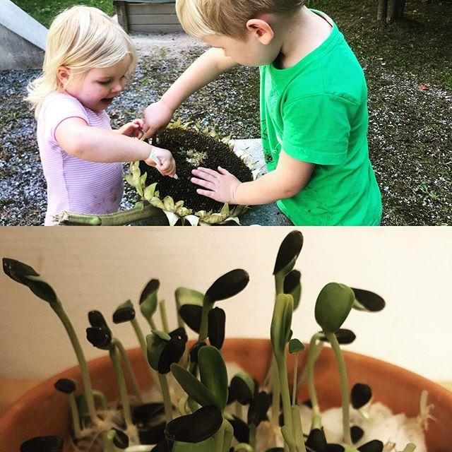 Sprouts growing sprouts 🤩🌱 DIY sunflower sprouts 🌻 #lovesprouting #kidsinthekitchen #sunflowers #sunflowersprouts #paleo #keto #nutrition #zurich #zürichseefeld #zürich #healthyeating #kidsactivities #montessorikids #montessoriathome #montessori