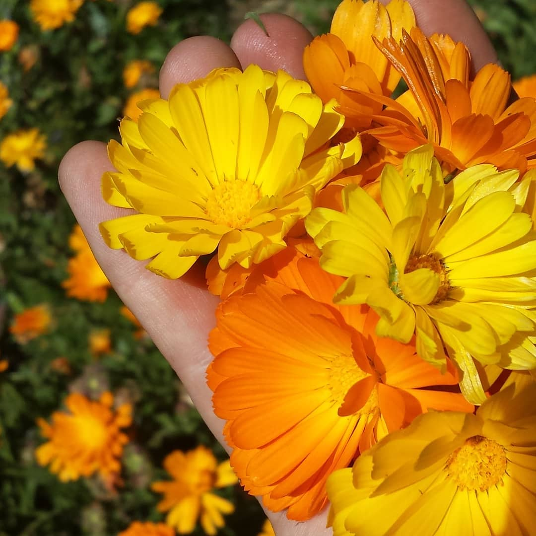 calendula flowers naturopath herbalist healer consultations herbal medicine healing healer
