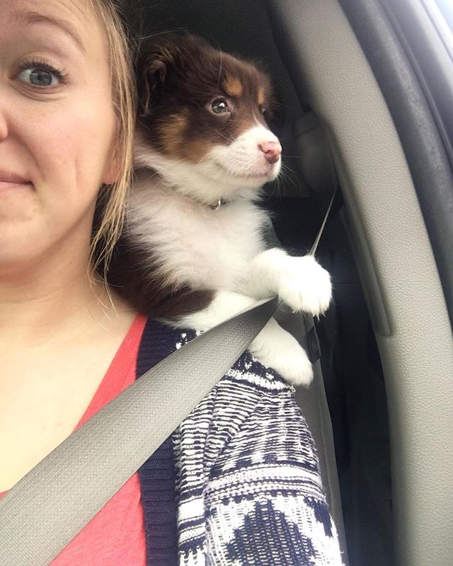 Here is a #throwback of tiny Mav going for a car ride and being a parrot. He happens to still get on my shoulders but only to shower me with kisses. • • • • #miniaussie #miniaussie_world #miniaustralianshepherd #australianshepherd #redtriaussie #aussie #milso #milspo #milsowife #militarywife #militaryspouse #armylife #armywife #armymilso #deployment #dogmom #dogstagram #pupstagram #monroeandmaverick #thatsdarling #everysquareastory #mybeautifulmess #searchwandercollect #liveunscripted #carrides