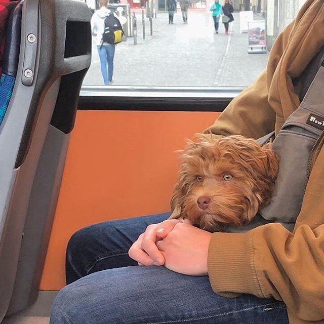 The best way to travel - especially in Switzerland (small pups are free on the train in carriers)! 📷: @ahavaneseinswitzerland