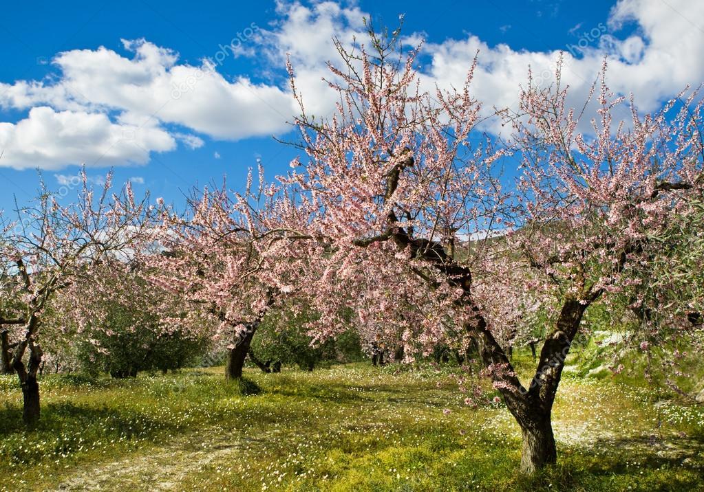 depositphotos_40294869-stock-photo-almond-orchard-in-blossom-alicante.jpg