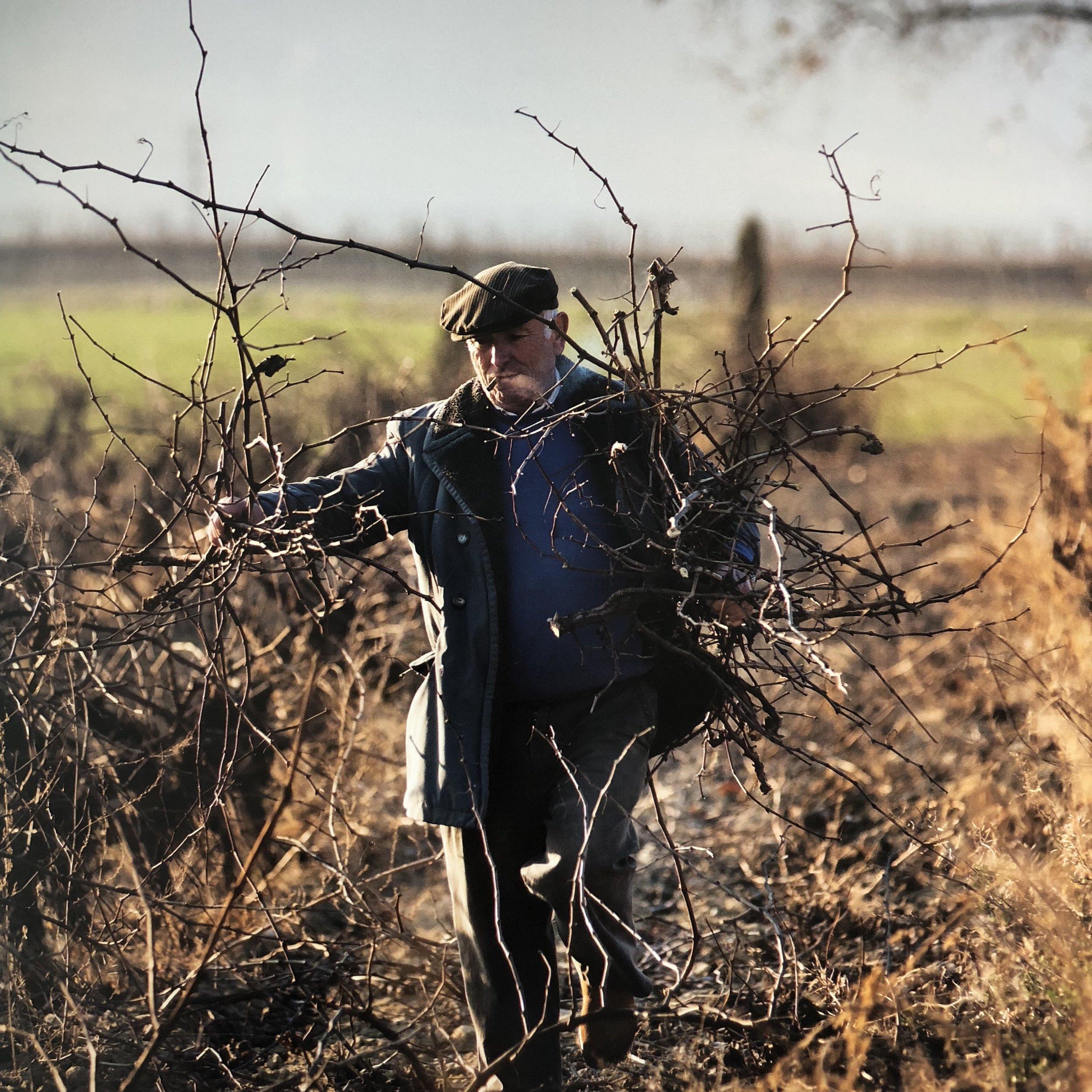 pruning_vines.JPG