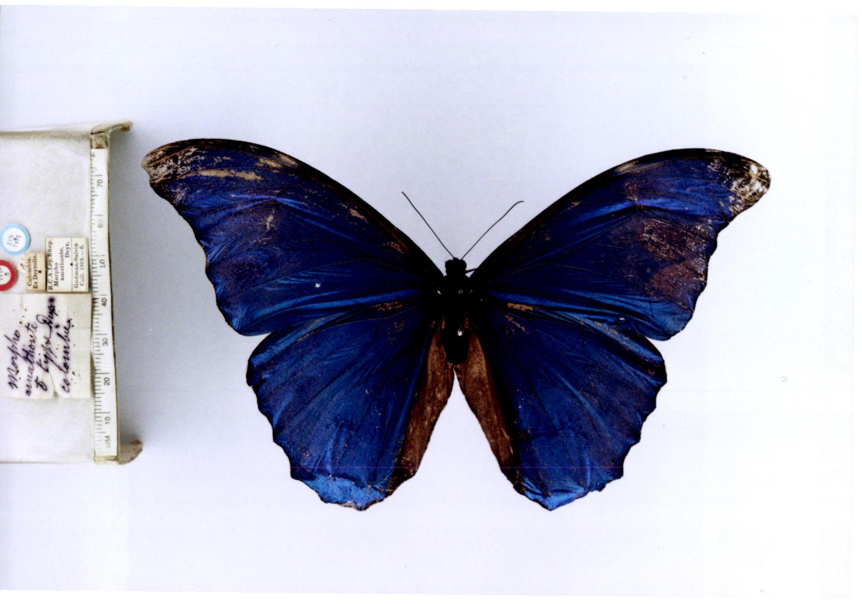image by: Gerardo Lamas, Peruvian entomologist