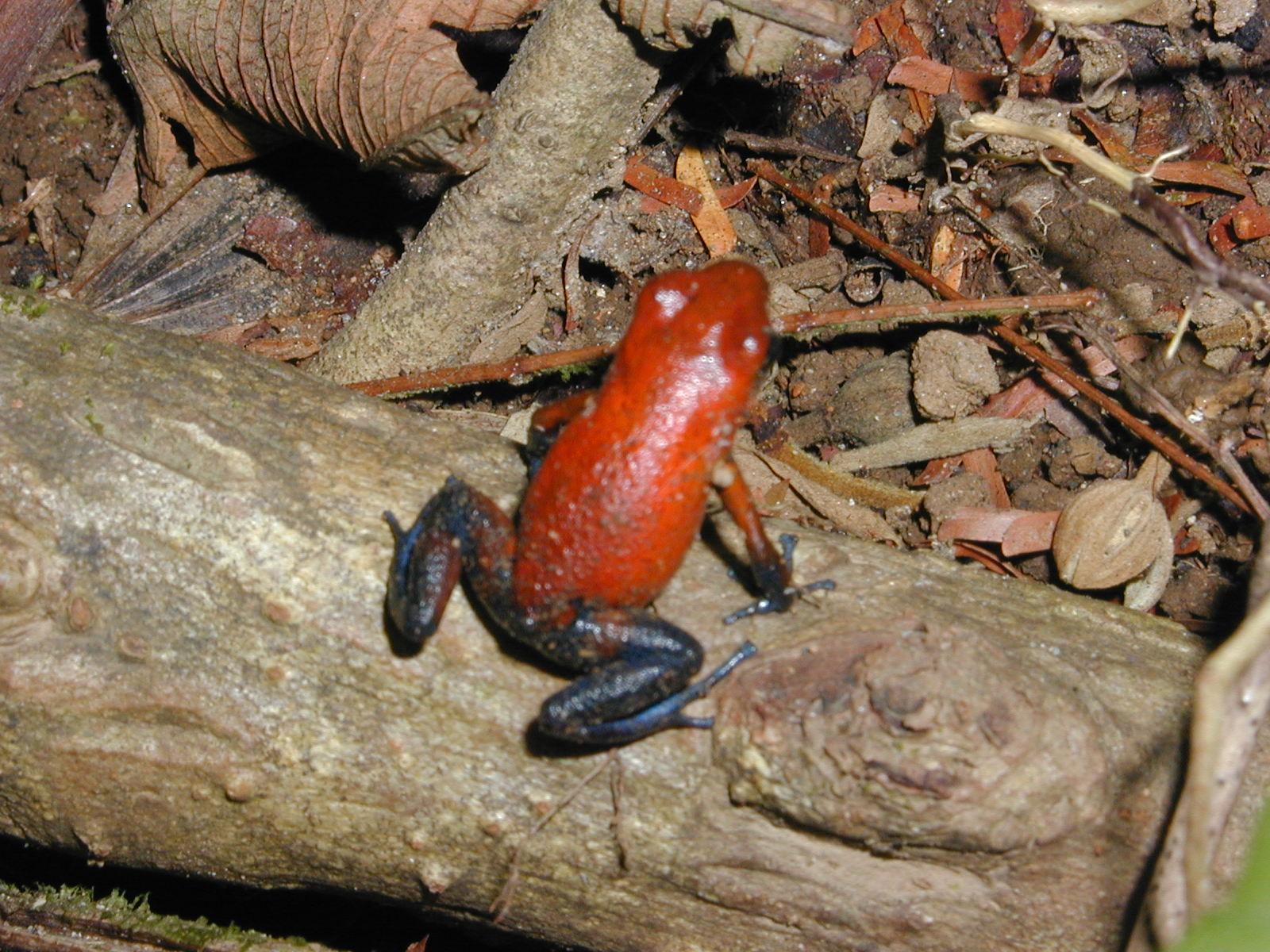 Red Frog.JPG