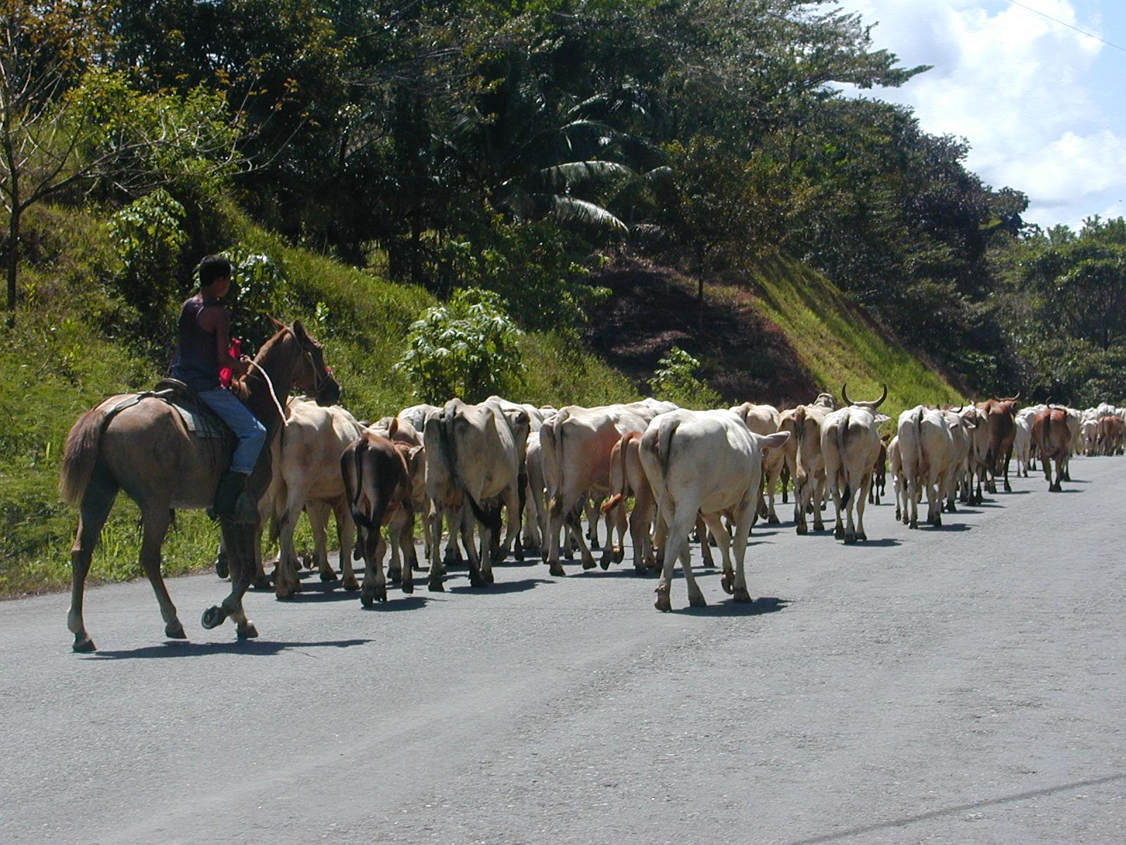 Road Cows.JPG