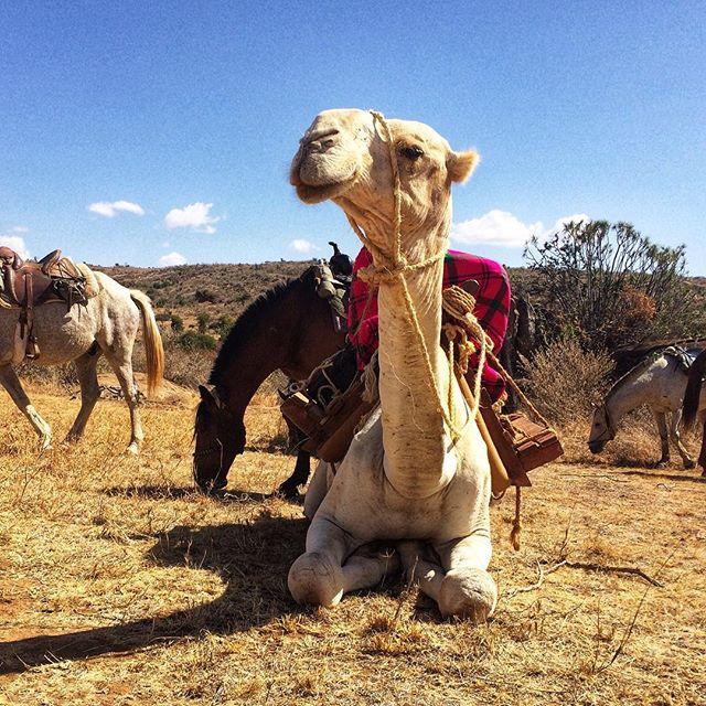 • OL MALO NOMAD • The 'breakfast bearer' 🍳 A quick fry up whilst on #horsesafari 🐪🐎 No vehicle back up just our 4 legged friends getting us into some awesome spots ____________________________ @olmalo @africa.born @samburutrust  _____________________________ #horse #camel #safari #kenya #neverstopexploring #adventuretime #horsesafari #laikipia #olmalonomad #wildlives #conservation