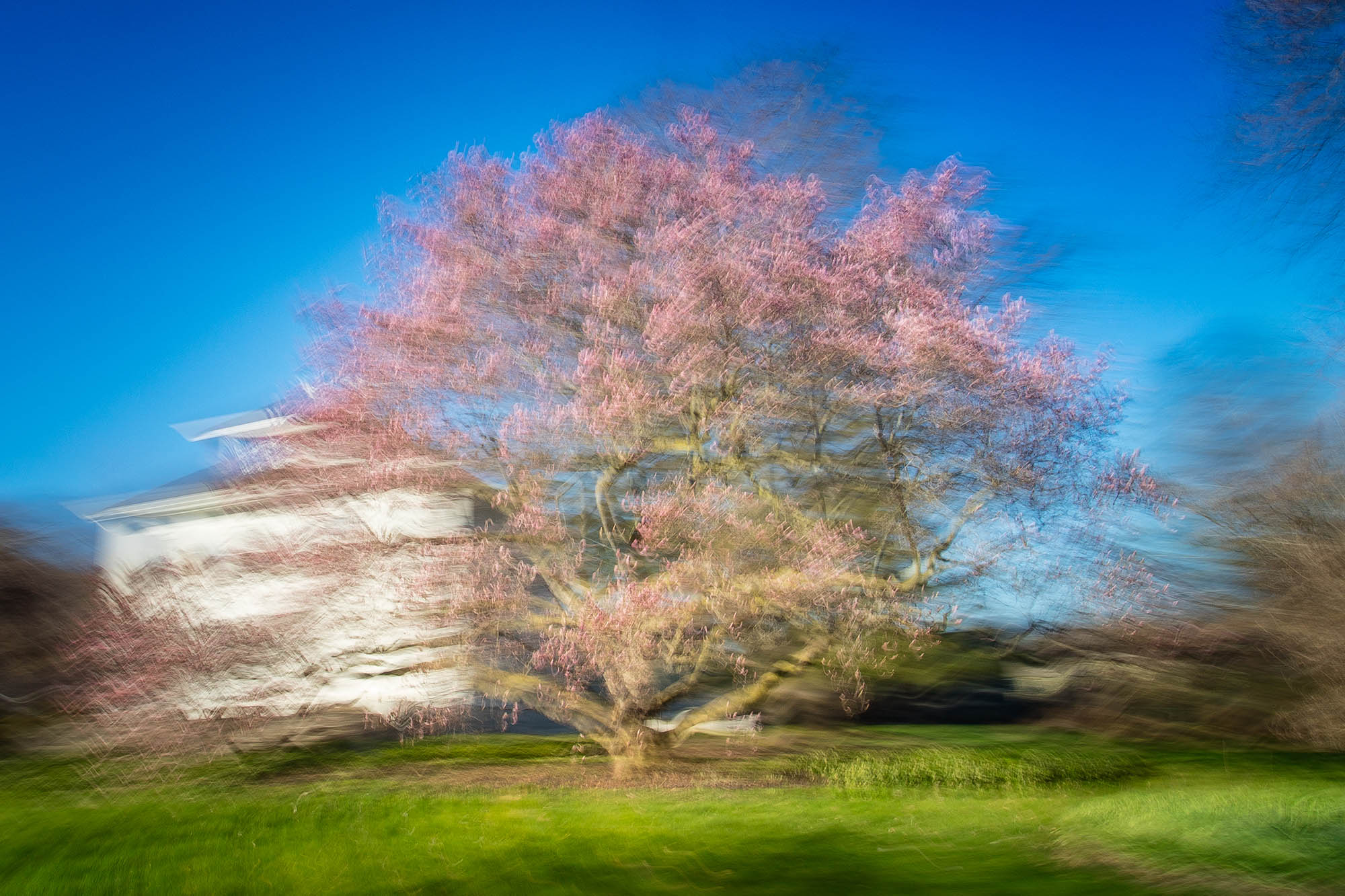 Giant Magnolia  - Queenston - 04-2016-_61A1136.jpg