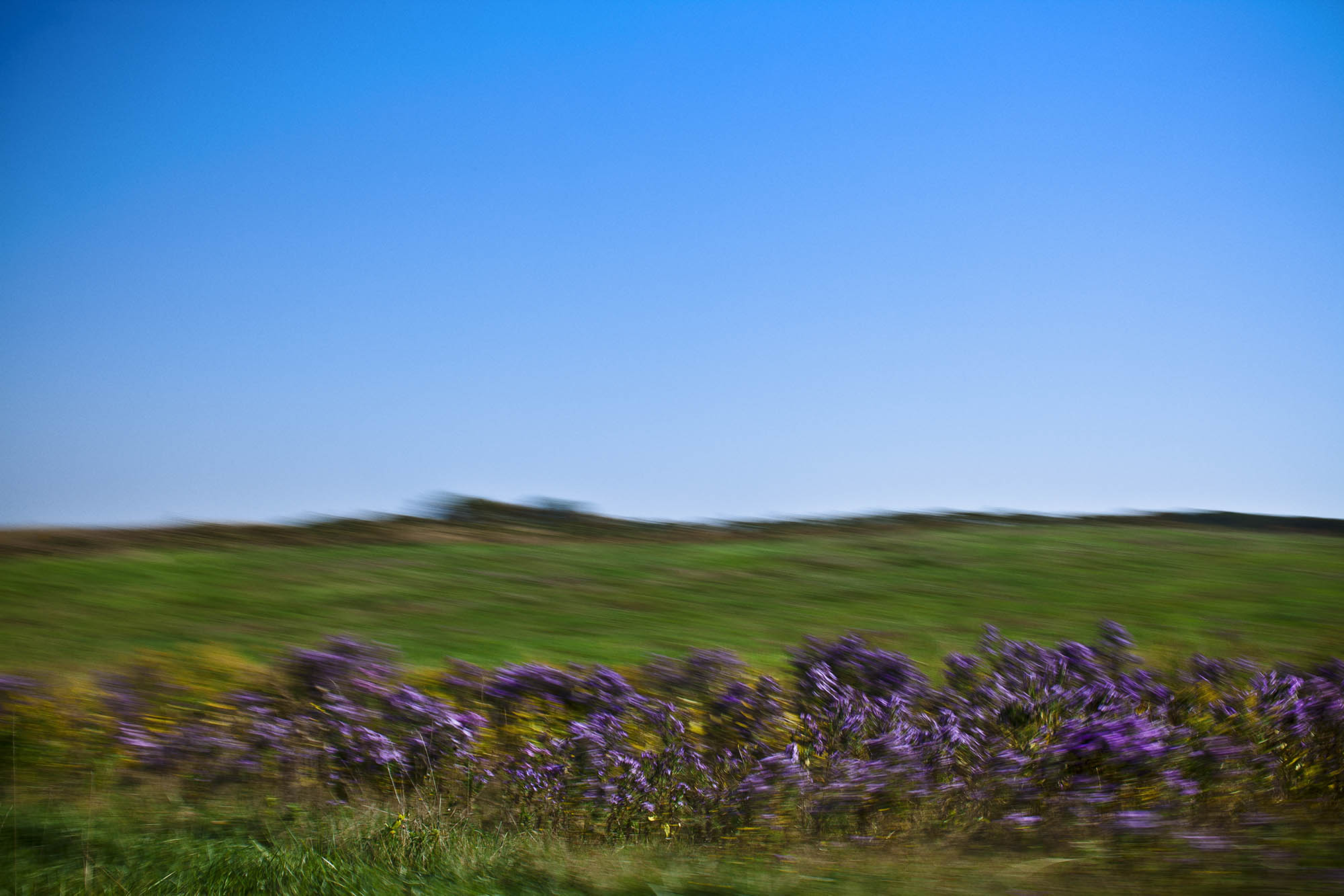 purple loostrife-0443.jpg