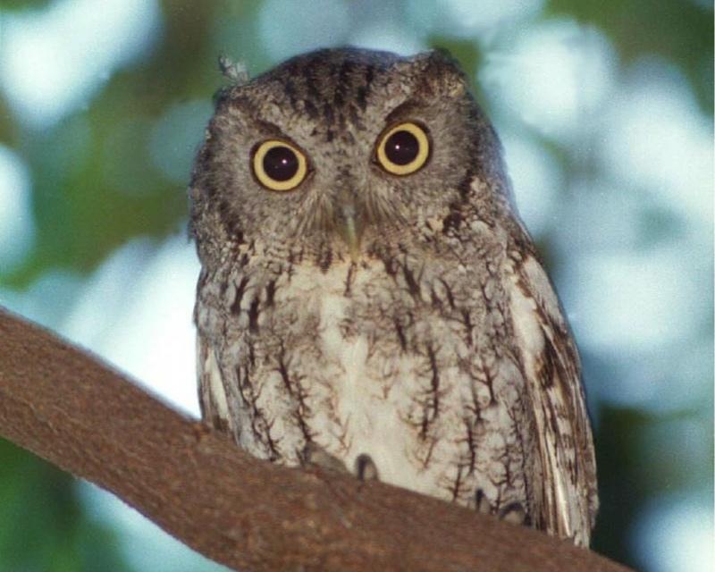 Species: Eastern Screech Owl Photo Credit: Angela Bartels Date: June, 2000 Location: Northern San Antonio