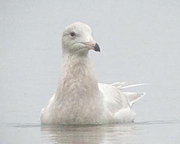 Species: Glaucous Gull  Photo Credit: Dodge Engleman  Date: December 30, 2005  Location: Braunig Lake, San Antonio