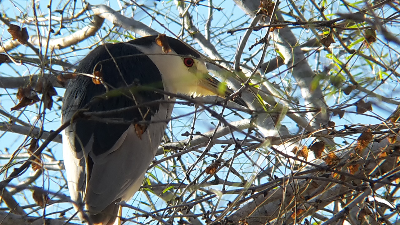 Black-crowned Night-Heron at Calaveras Lake (Photo: Alyssia Church)