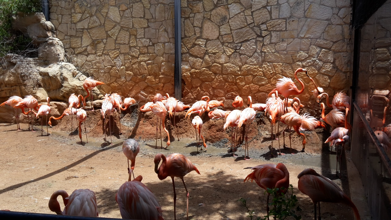 San Antonio Zoo has an excellent captive breeding population of Flamingos (Photo: Alyssia Church)