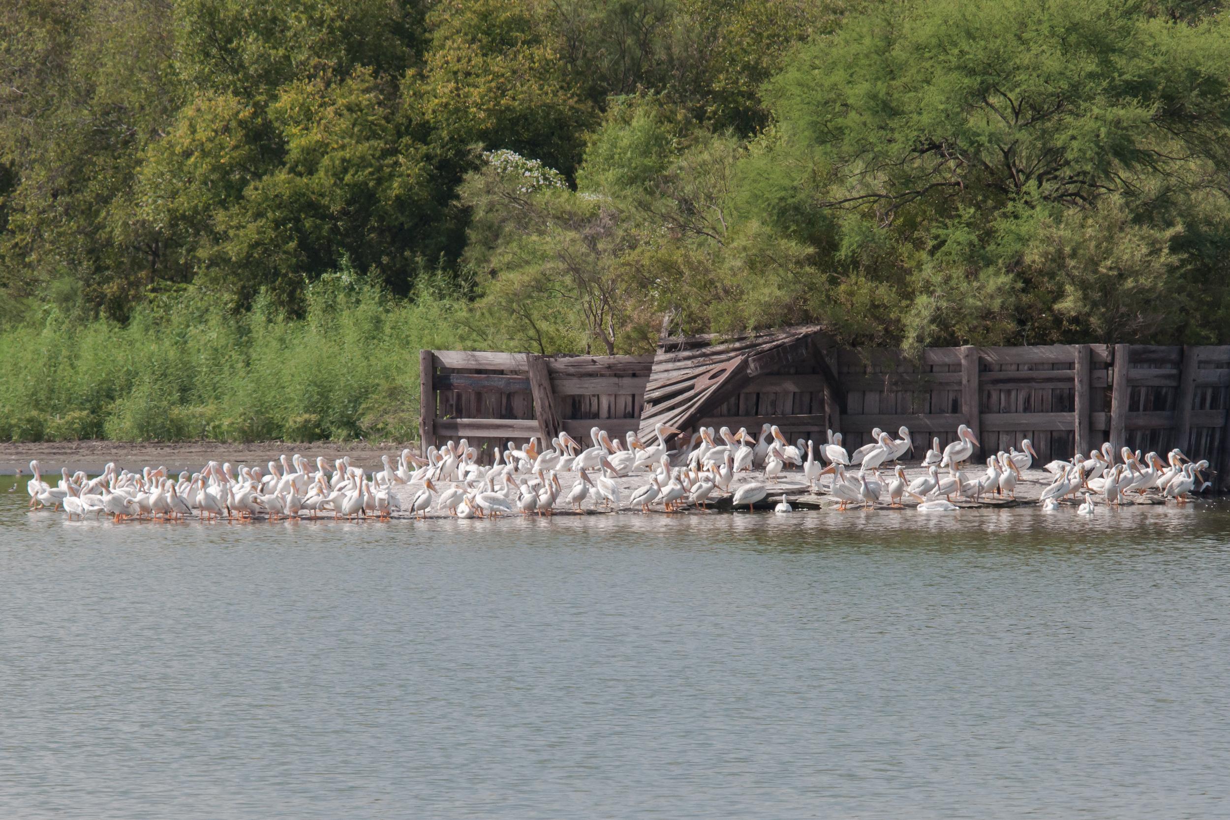 Species: American White Pelican Photo Credit: Alyssia Church Date: September 2017 Location: Mitchell Lake Audubon Center
